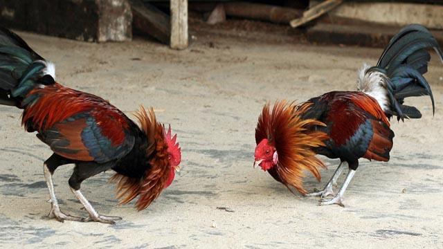 Jenis Latihan Untuk Meningkatkan Pukulan Ayam Aduan
